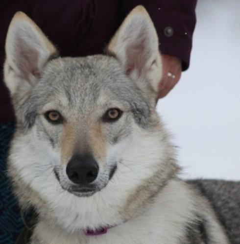 Чехословацкая волчья собак порода крупных защитных собак