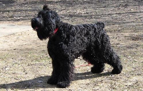 Русский черный терьер российская порода крупных служебных охранных собак