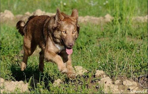 Айди крупная порода охранных собак