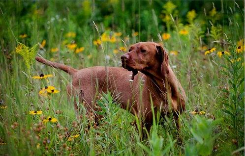 Венгерская короткошерстная выжла порода охотничьих собак