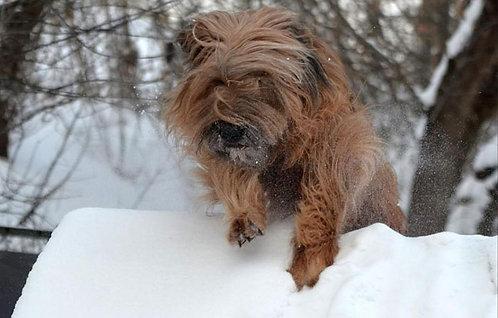 Бриар французская порода крупных пастушьих собак