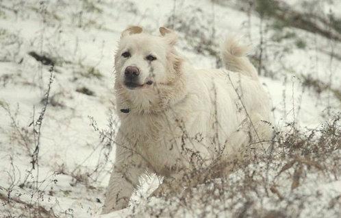 Польская овчарка подгалянская порода крупных охранных собак