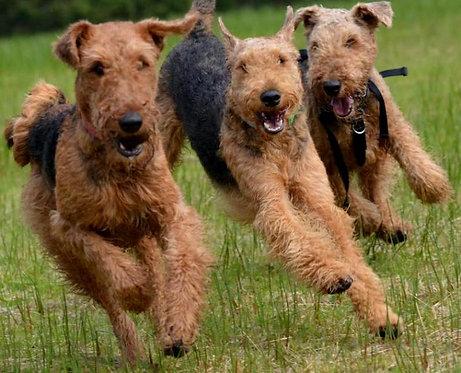Эрдельтерьер английская крупная порода защитных собак