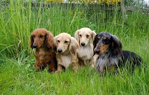 Небольшие охотничьи собаки для квартиры породы такса