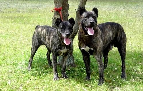 Сан-мигельский фила португальская порода рабочих охранных собак