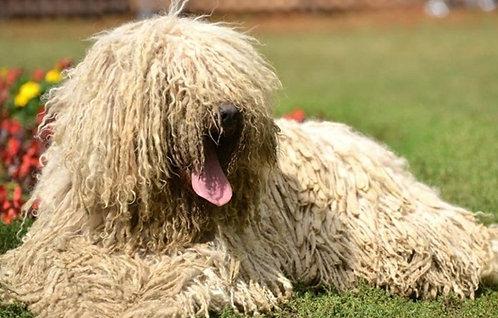 Комондор венгерская порода крупных пастушьих собак
