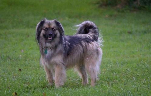 Пиренейская овчарка гладкошерстная французская порода маленьких охранных собак
