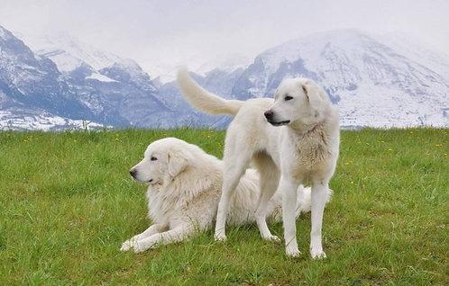Маремма итальянская порода крупных охранных собак