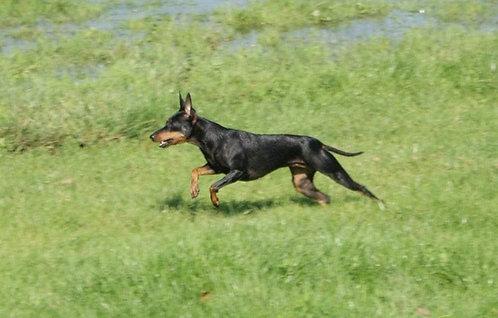 Собака черная с рыжим породы английский той терьер