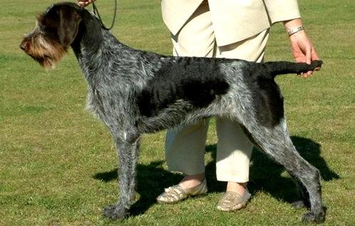 Дратхаар немецкая порода охотничьих собак с длинными ушами на уток