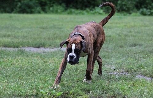 Боксер немецкая порода крупных сторожевых собак