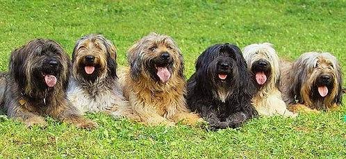 Каталонская овчарка испанская порода крупных охранных собак