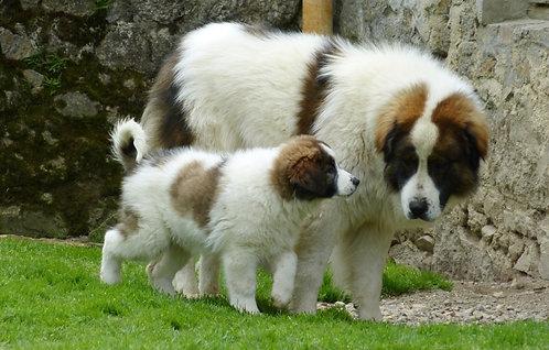 Торняк европейская порода крупных сторожевых собак