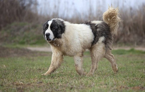 Пиренейский мастиф испанская порода больших охранных собак
