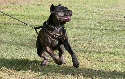 Кане корсо итальянская порода крупных короткошерстных защитных собак