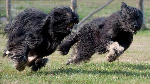 Португальская овчарка порода средних сторожевых собак