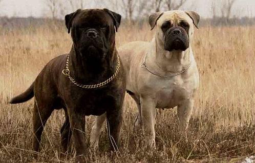 Бульмастиф английская порода крупных бойцовых собак