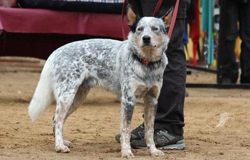 Австралийский кеттл-дог крупная порода пастушьих собак