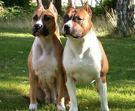 Американский питбультерьер порода собак