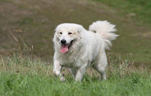 Пиренейская горная собака французская порода больших охранных собак