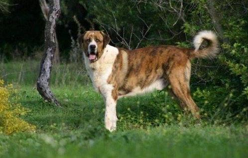 Рафейру ду алентажу португальская порода огромных сторожевых собак