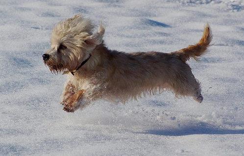Денди динмонт терьер порода собак