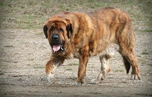 Испанский мастиф большая порода охранных собак