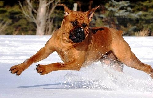 Бурбуль крупная порода охранных собак