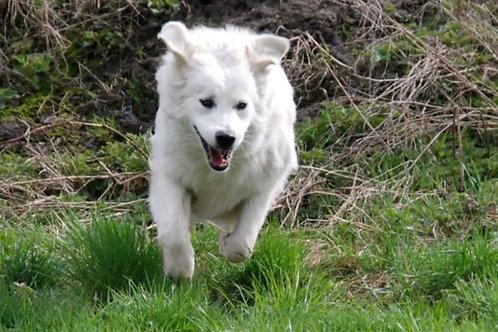 Словацкий чувач крупная порода охранных собак