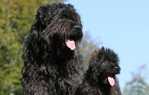 Фландрский бувье бельгийская порода крупных пастушьих собак