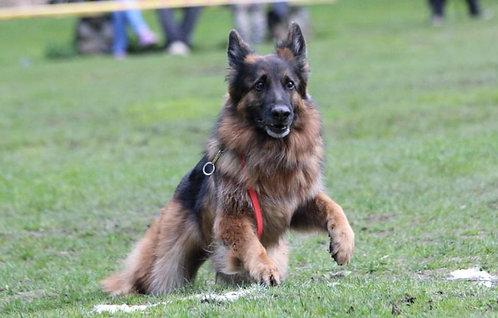 Немецкая овчарка порода служебных собак