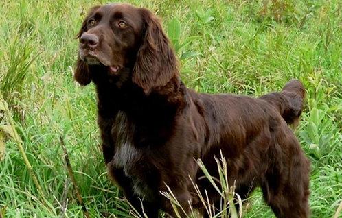 Лангхаар немецкая порода охотничьих легавых собак с длинными ушами
