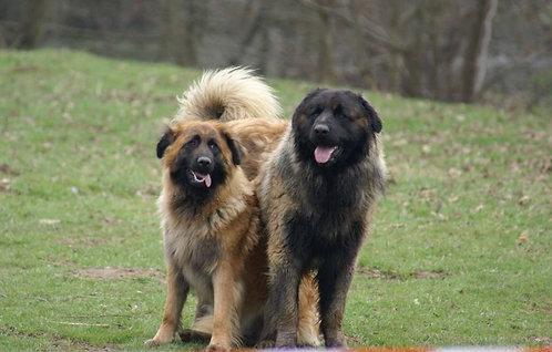 Эштрельская овчарка португальская порода крупных охранных собак