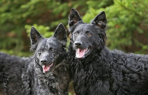 Хорватская овчарка порода крупных сторожевых собак