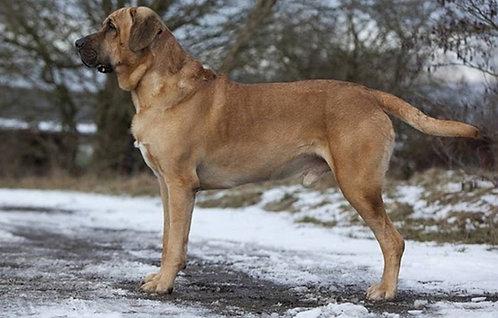 Брохольмер датская порода редких крупных сторожевых рабочих собак