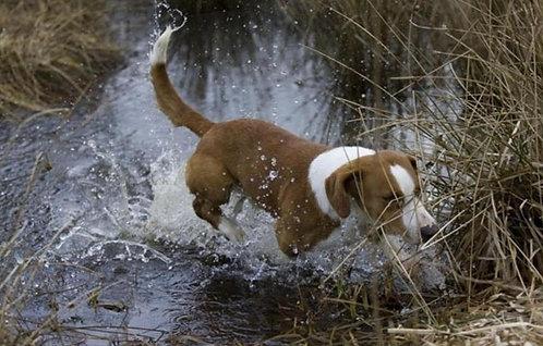 Древер шведская мелкая порода охотничьих гончих собак