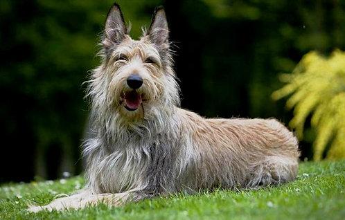 Пикардийская овчарка французская порода крупных пастушьих собак