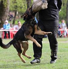Дрессировка собак служебных пород с выдачей сертификата