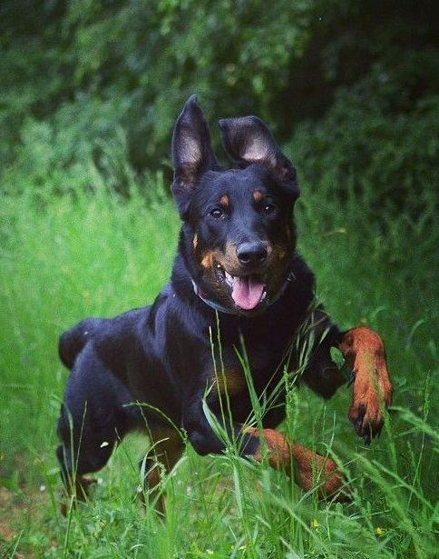 Босерон французская порода крупных охранных собак