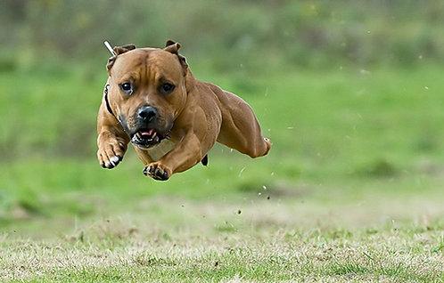 Стаффордширский бультерьер порода собак