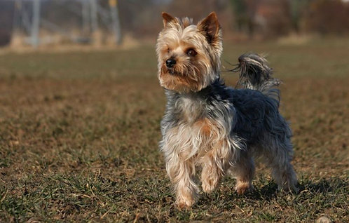 Йоркширский терьер порода маленьких собак