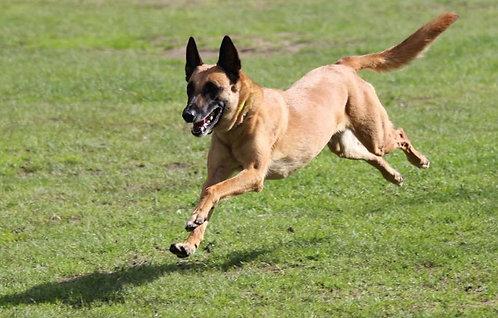 Малинуа бельгийская порода защитных собак
