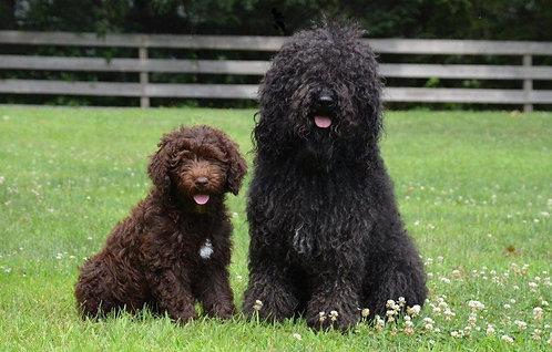 Барбет порода длинношерстных охотничьих собак
