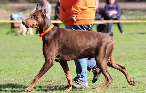 Доберман немецкая порода крупных служебных собак