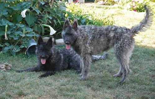 Голландская овчарка грубошерстная порода крупных сторожевых собак