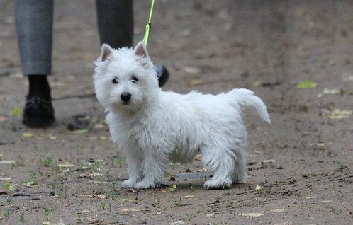 Вест хайленд уайт терьер шотландская порода мелких собак