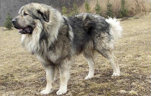 Шарпланинская овчарка балканская порода больших охранных собак