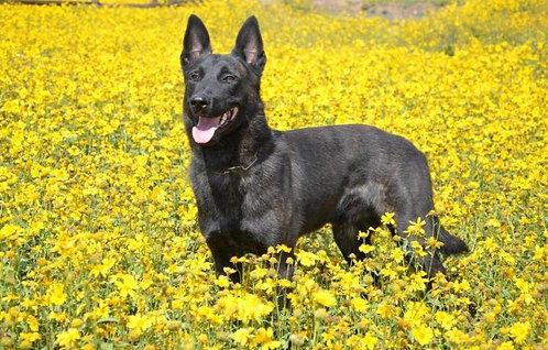 Голландская овчарка гладкошерстная порода крупных сторожевых собак