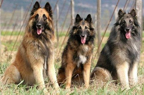 Тервюрен бельгийская овчарка порода охранных рабочих собак