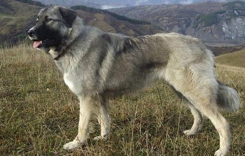 Буковинская овчарка сербская порода крупных сторожевых собак
